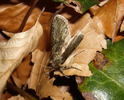 The Frosted Green was one of the moths spotted by nature buffs at the Kingston Hill campus.